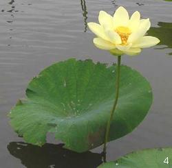 Глубоководные растения - лотос