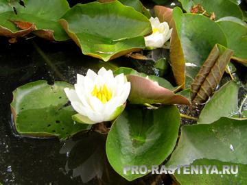 Кувшинка, как вырастить в пруду