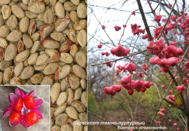 Вид бересклет теино-пурпурный, семена, плоды