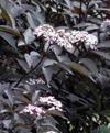 Виды и сорта бузины, посадка и уход в саду