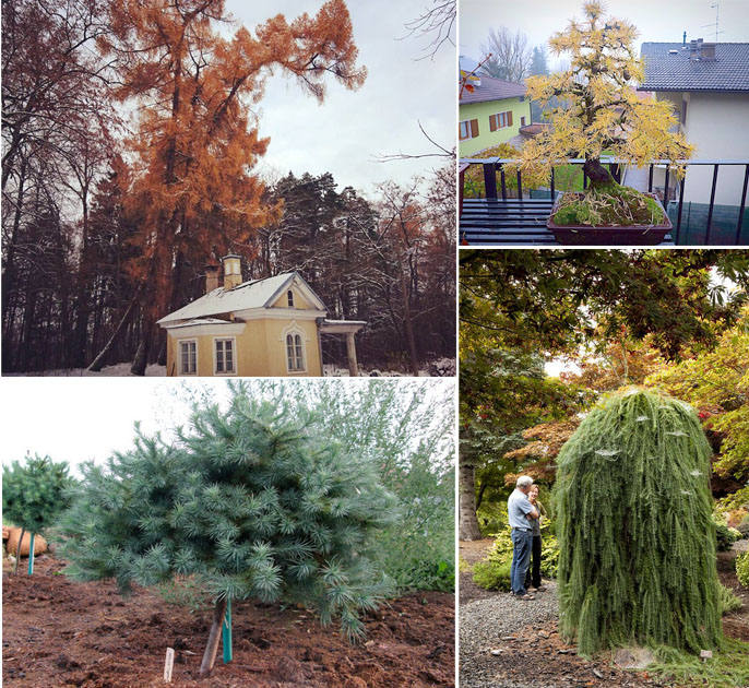 Выращивание лиственницы: посадка и уход