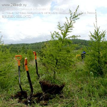 Посадка лиственницы с комом земли
