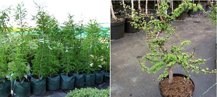Посадка и выращивание лиственницы