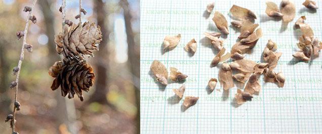 Посадка и размножение лиственницы