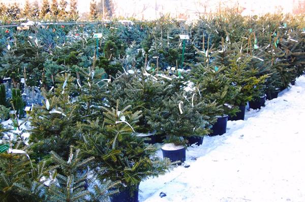 Где купить елку в горшке на Новый год