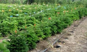 Питомник, плантация с Новогодними елками в кадках / горшках