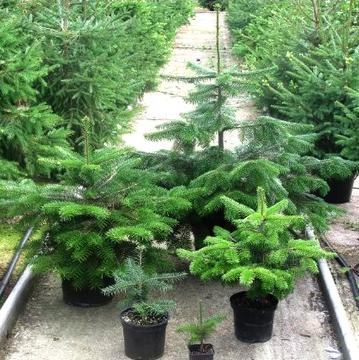 Выращивание елки в горшке