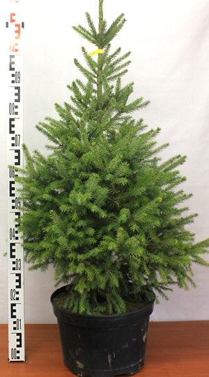 Новогодняя елка в горше - ель сербская