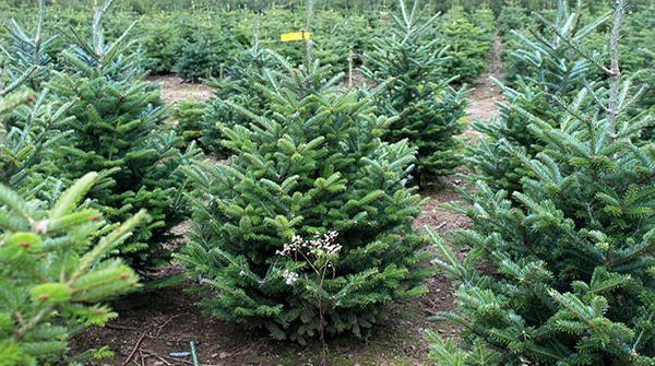 Пихта Фразера - Датская елка