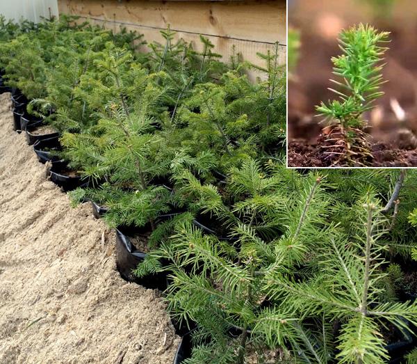 Выращивание пихты из семян