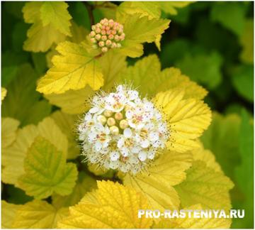 Пузыреплодник: сорта, посадка, размножение, уход, обрезка