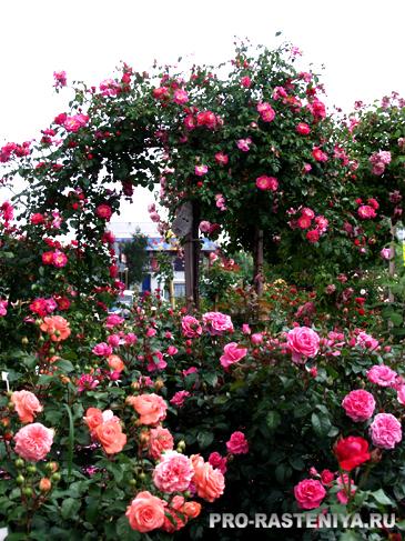 Виды цветников - розарий
