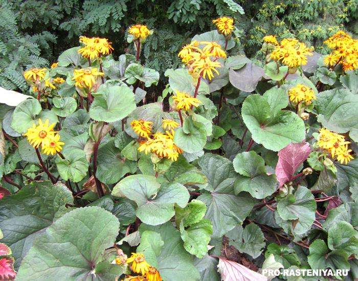 Тенелюбивые растения - бузульник