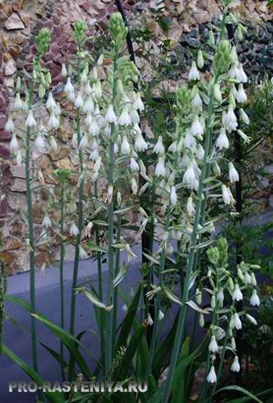 Растения для Белого Сада - гальтония