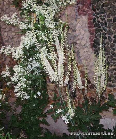 растения для Белого Сада - клематис жгучий и клопогон