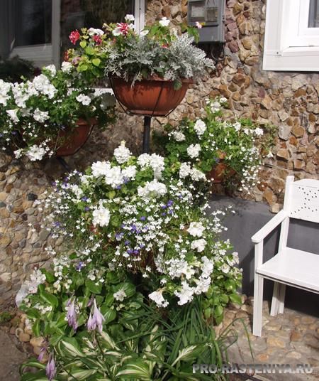 Белый сад Оксаны Белиной - контейнерные растения