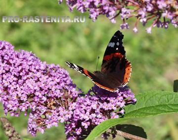 Сад бабочек. Бабочка Адмирал