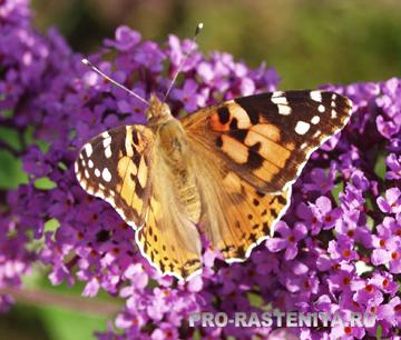 Кранивница - бабочка