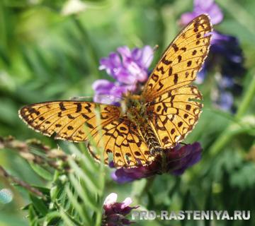 Бабочка Шашечница