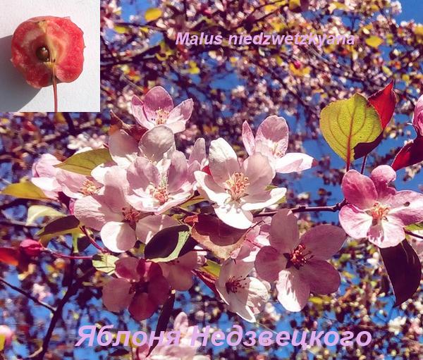 Декоративная яблоня Недзвецкого
