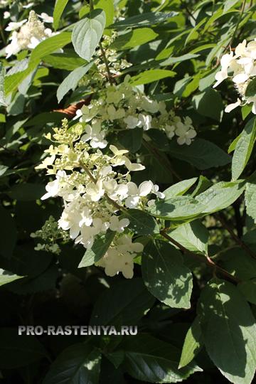 Гортензия: выращивание, посадка, уход, размножение, обрезка