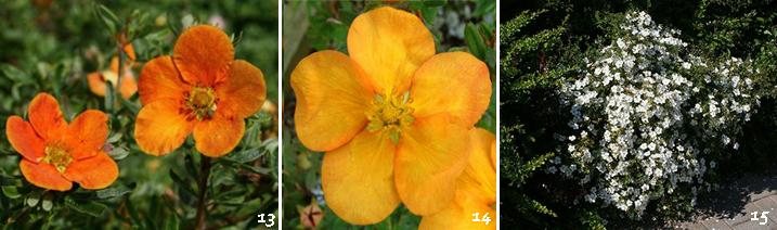 лапчатка кустарниковая - посадка, уход, размножение, сорта