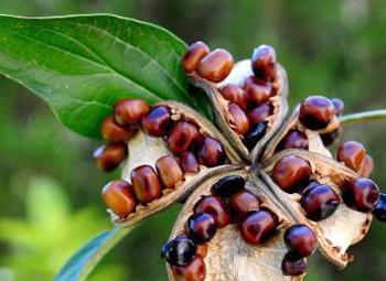 Размножение древовидных пионов семенами
