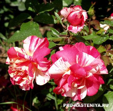 Сорта розы флорибунды