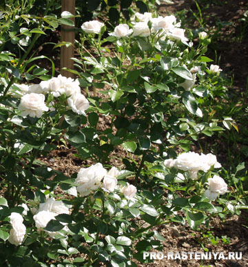 Роза флорибунда, сорт Aspirin Rose