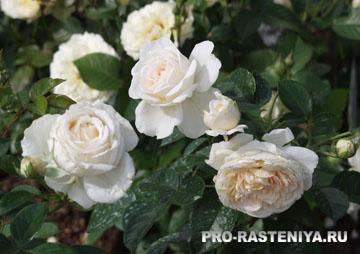 Роза флорибунда, сорт Cream Abundance