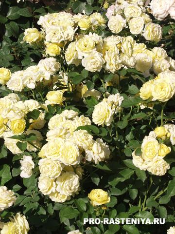 Роза флорибунда Голден Бордер
