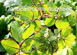 Болезни роз - полосатость листьев