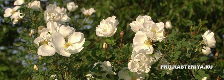 Роза колючейшая, шиповник колючейший