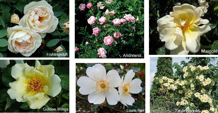Роза колючейшая, сорта и гибриды