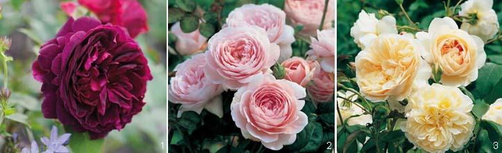 Шрабы - розы английские