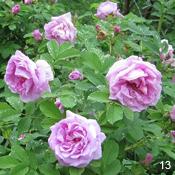 Сорт розы морщинистой Васагаминг