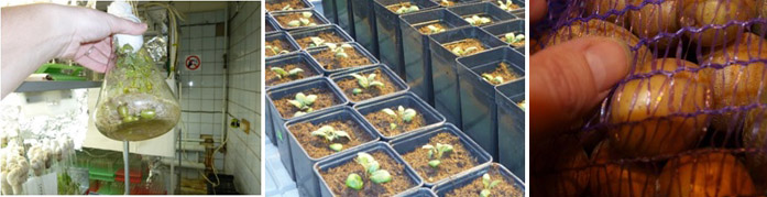 Семенной картофель можно купить в Тимирязевской академии