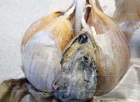 Болезни чеснока - пероноспороз