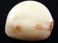 Фузариоз чеснока