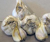 луковая стеблевая нематода - вредитель чеснока