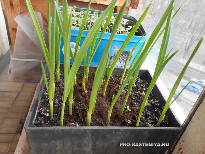 выращивание чеснока в домашних условиях