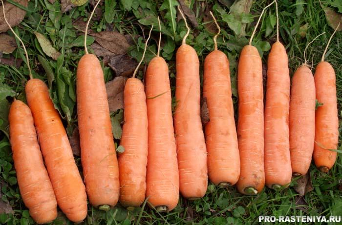 Сорта моркови гибридные
