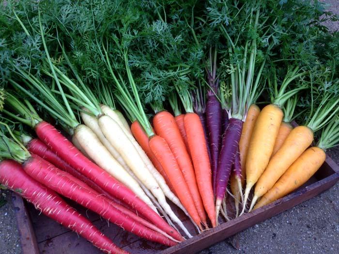 Сорта моркови цветные