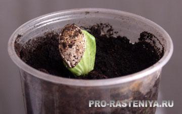 Как вырастить тыкву, как посадить тыкву