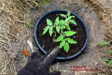 Выращивание томатов в горшках на сырых участках