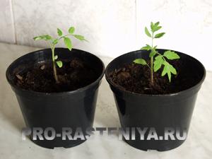 выращивание рассады томатов /помидор/