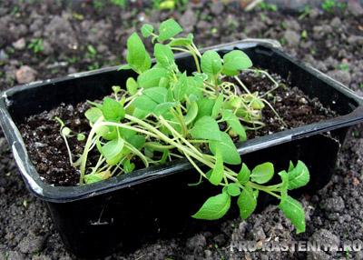 Как вырастить картофель из семян.