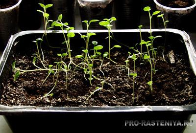 Выращивание картофеля семенами.