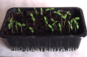 выращивание рассады томатов /помидор/ рассада