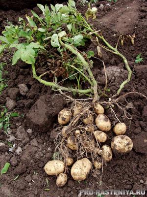 Картофель из семян. Урожай.